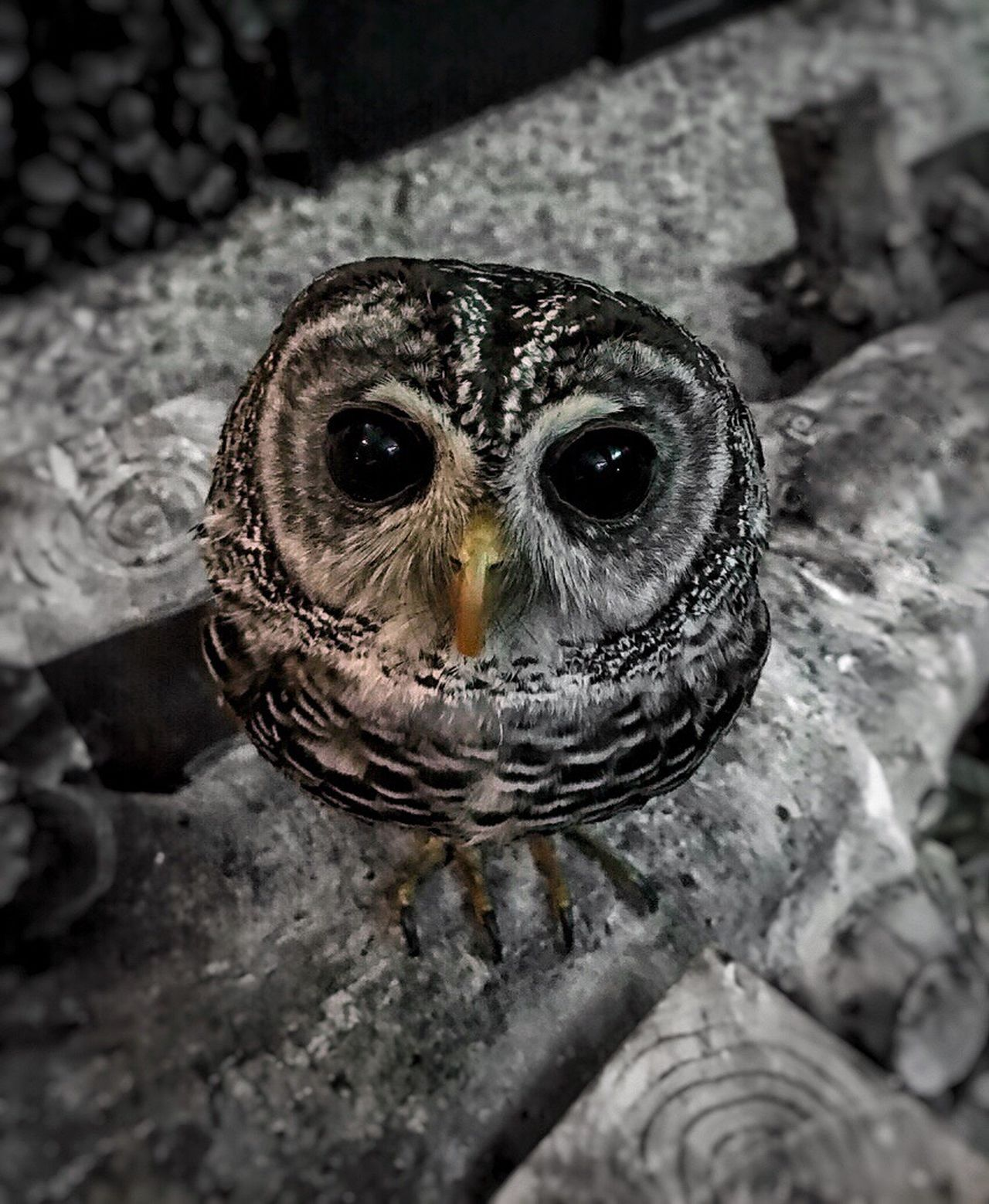 Owl Owl Eyes One Animal Animal Themes Looking At Camera Bird Close-up No People Nature