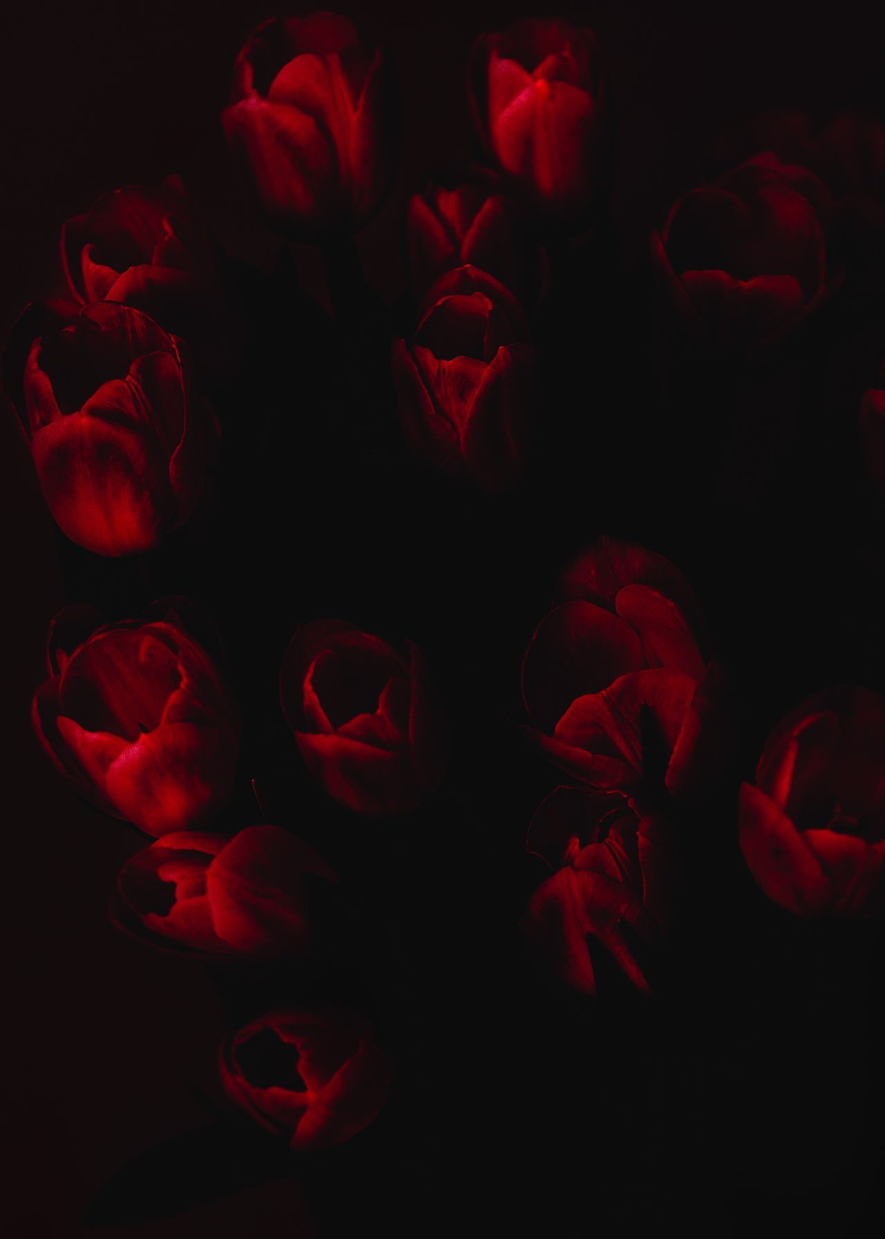 Tulips Red Flower Studio Shot No People Petal Black Background Freshness Close-up Beauty In Nature Backgrounds Indoors  Nature Rose - Flower Fragility Fujifilm_xseries Fujifilm EyeEmBestEdits EyeEm Best Shots EyeEm EyeEmBestPics EyeEm Gallery EyeEm Best Edits Netherlands The Week Of Eyeem