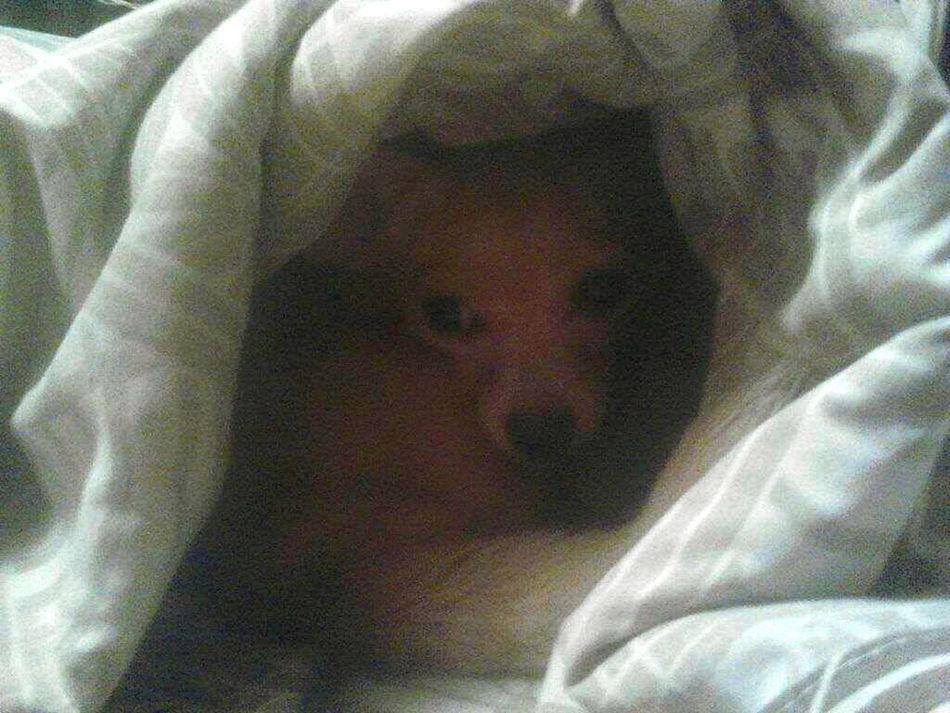 Relaxing Chihuahua Love ♥ Tiny Dog Enjoying Life I Love My Dog Deerhead