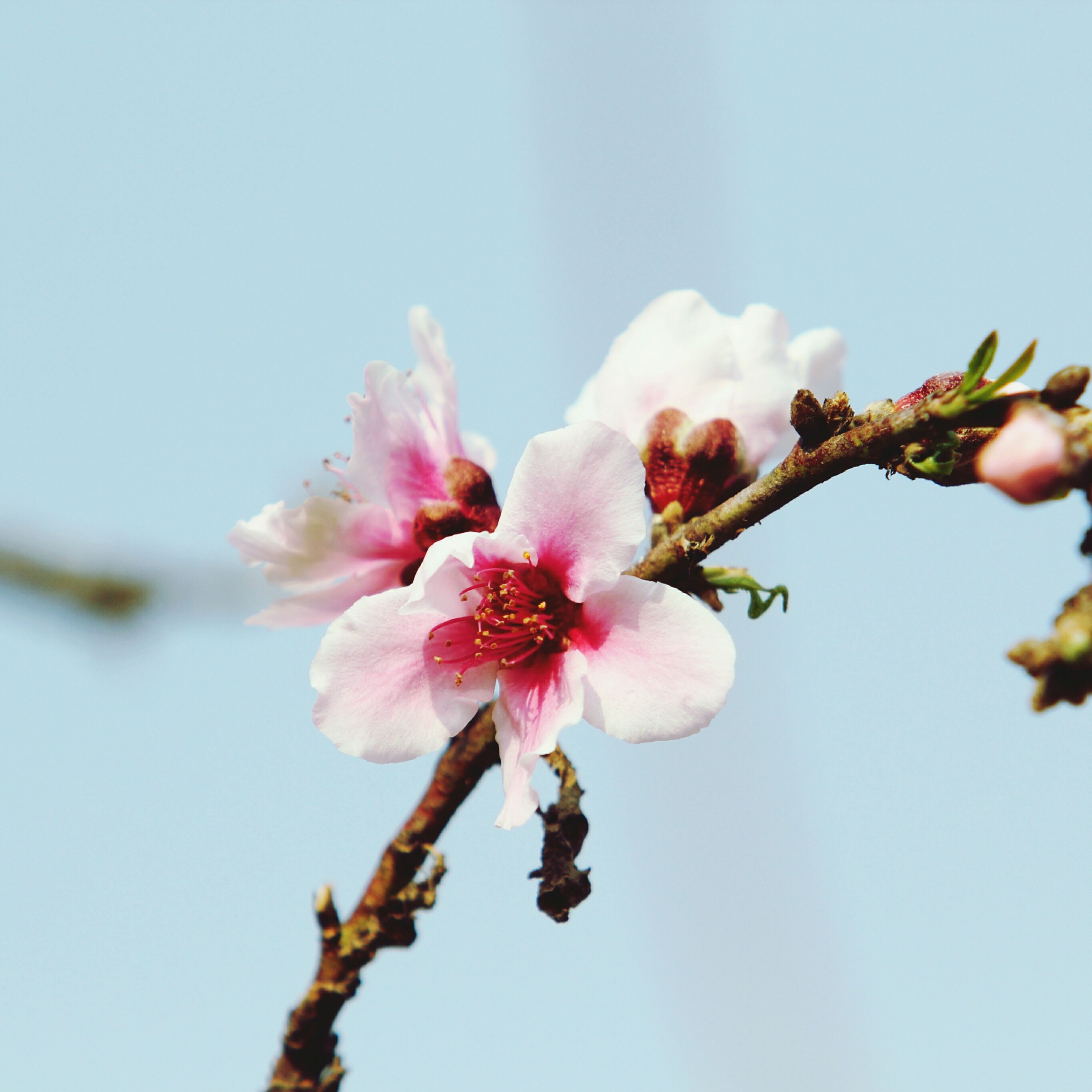 flower, freshness, fragility, growth, low angle view, beauty in nature, petal, close-up, nature, branch, flower head, pink color, focus on foreground, bud, blossom, in bloom, blooming, clear sky, day, tree