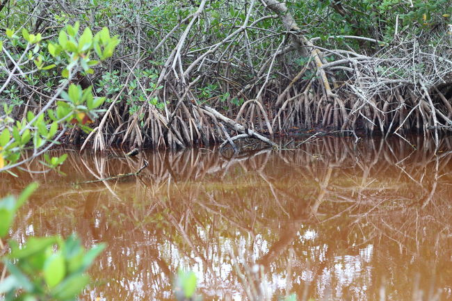 Beauty In Nature Day Mangroves Nature Non-urban Scene Reflection Water Waterfront