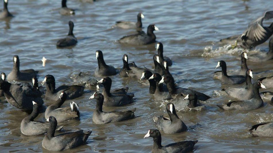 Wildlife & Nature Wildlife Photos Nature Lake White Rock Lake Dallas Tx Photo Of The Day Animals Birds Water Fowl