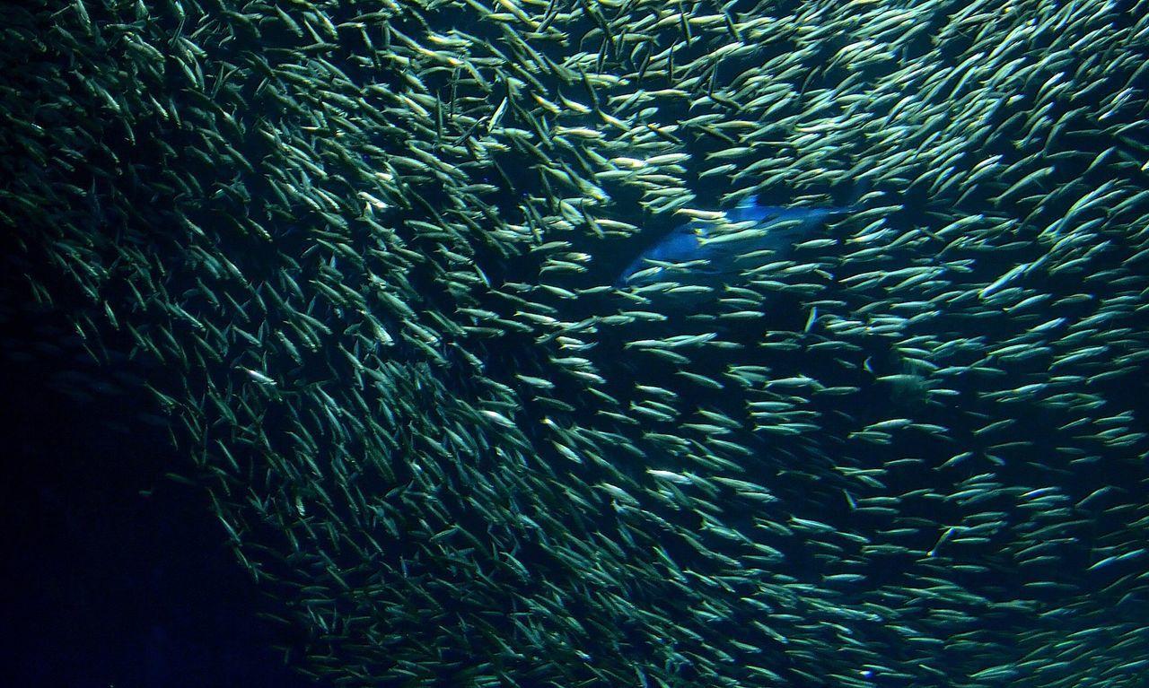 Tuna Sardines Monterey Bay Aquarium