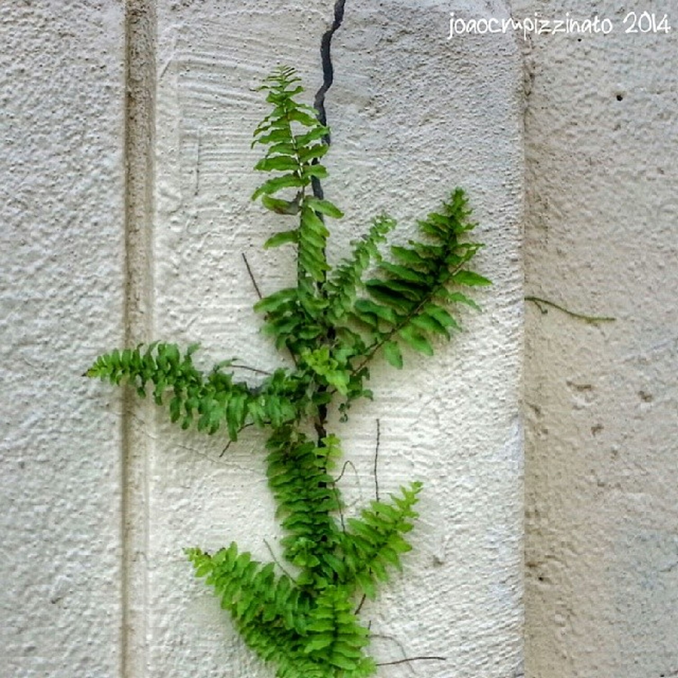 plant, growth, leaf, green color, wall - building feature, growing, potted plant, ivy, nature, close-up, freshness, built structure, wall, architecture, no people, day, green, outdoors, brick wall, sunlight