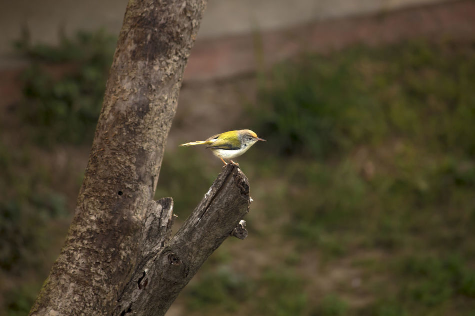 Tiny flycatcher bird with yellow and olive green wings Animal Themes Animal Wildlife Bird Bird On Tree Bird Photography Bird With Olive Green W Branch Cute Bird In Nature Cute Bird🐥 Fly Catcher Lovely Bird Nature Outdoors Perching Tiny Bird Tiny Bird :-) Tiny Bird In Action Tree