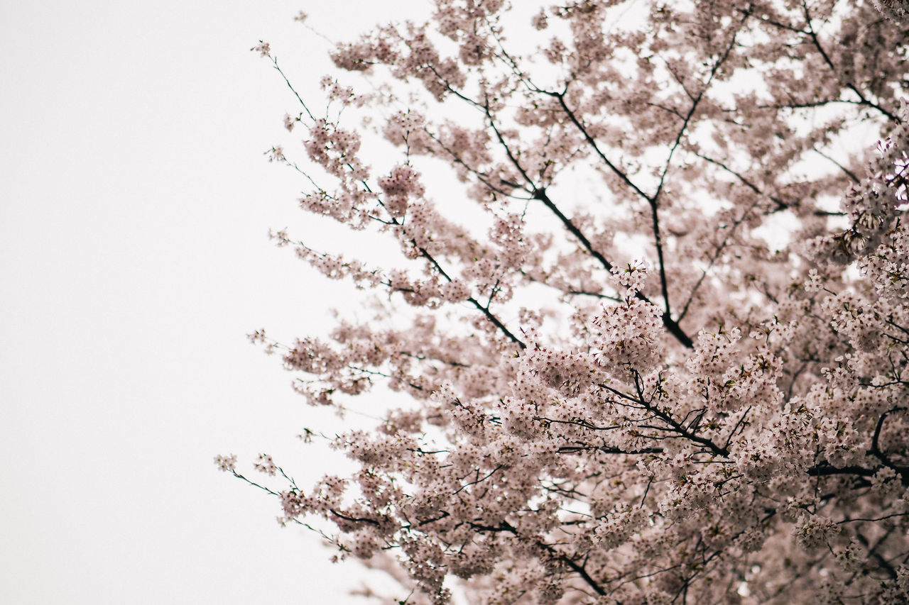 Low Angle View Of Cherry Blossoms In Spring Backgrounds Beauty In Nature Blossom Botany Branch Cherry Blossoms Close-up Day Flower Flower Head Fragility Freshness Growth Japan Low Angle View Nature No People Outdoors Peaceful Sakura Sky Springtime Tokyo Tranquility Tree