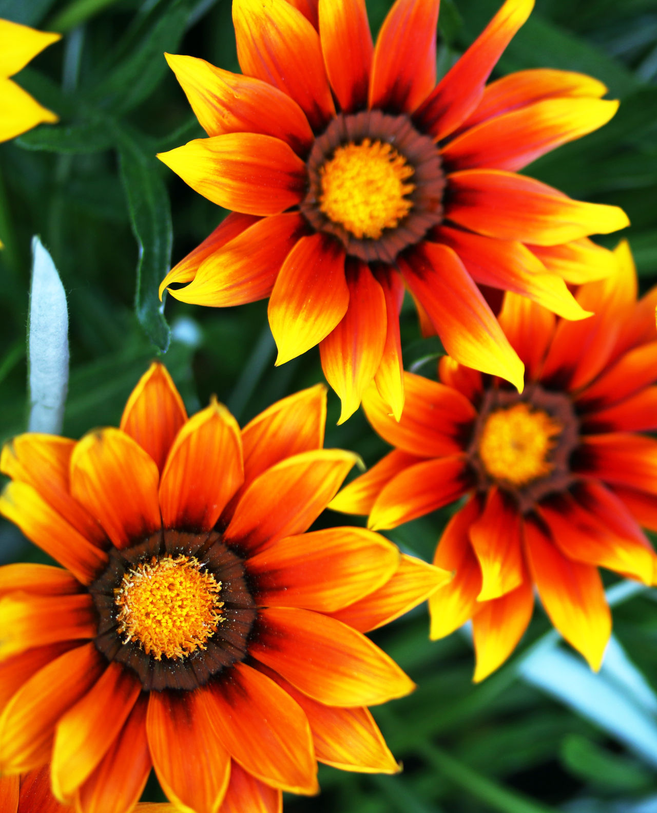 Beauty In Nature Close-up Day Flower Flower Head Nature No People Orange Color Outdoors Petal Yellow Yellow Red Daisies