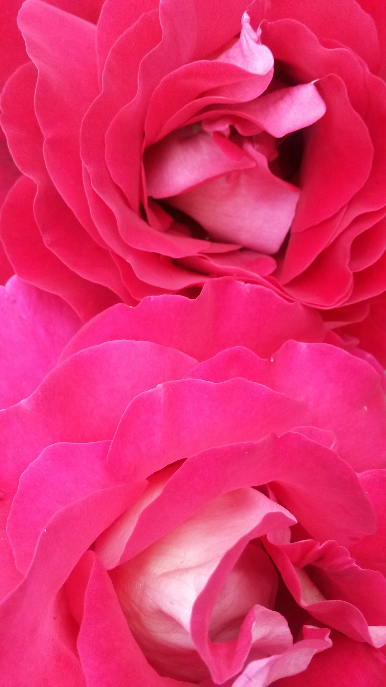 Roses Roseflower Plants Pink Flower Pink