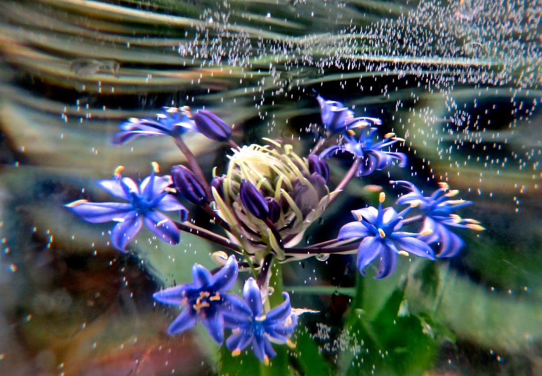 Is this plant under water? No, we are looking through a glass of water. Beauty In Nature Blue Flowers Detail Distortion Effect Flower Flower Head My Style... Scilla Peruviana Special Effects Spring Bulbs