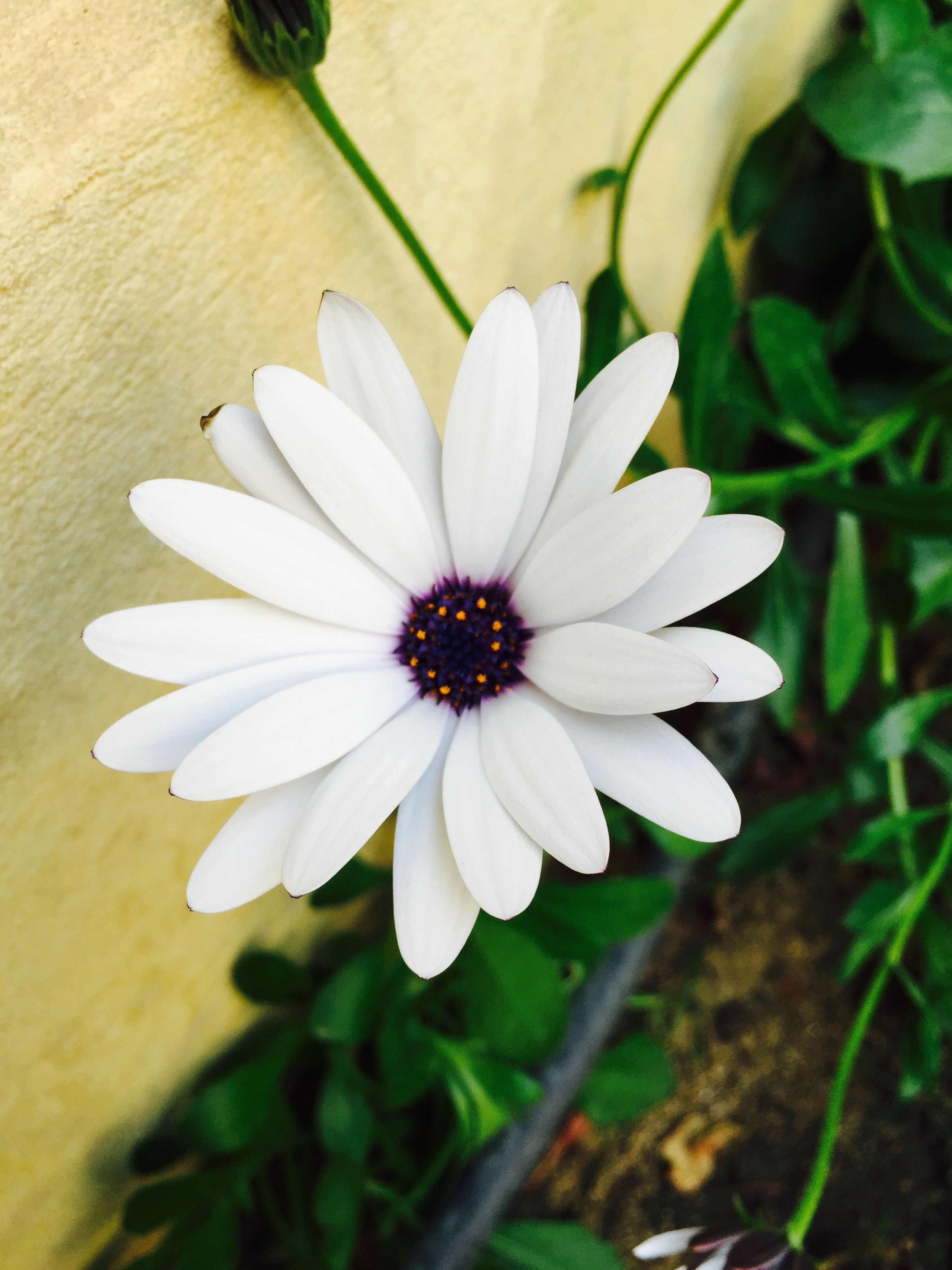 flower, petal, freshness, flower head, fragility, growth, single flower, beauty in nature, pollen, close-up, blooming, nature, white color, plant, high angle view, in bloom, focus on foreground, daisy, stamen, blossom