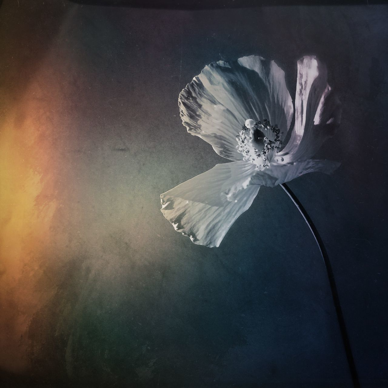 flower, petal, flower head, fragility, beauty in nature, vase, no people, indoors, nature, close-up, water, day