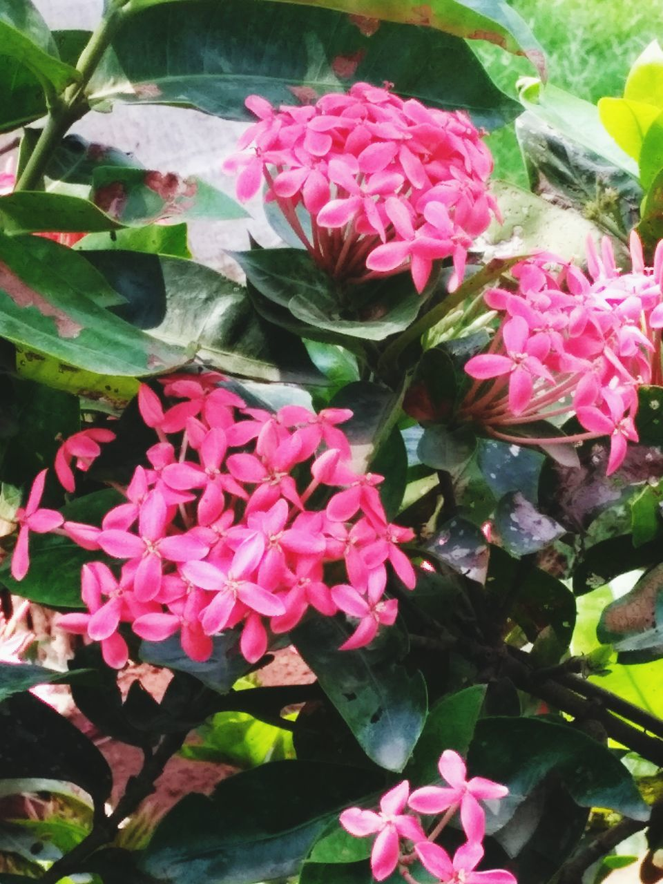 flower, pink color, beauty in nature, fragility, petal, nature, growth, freshness, flower head, no people, plant, day, outdoors, leaf, blooming, close-up