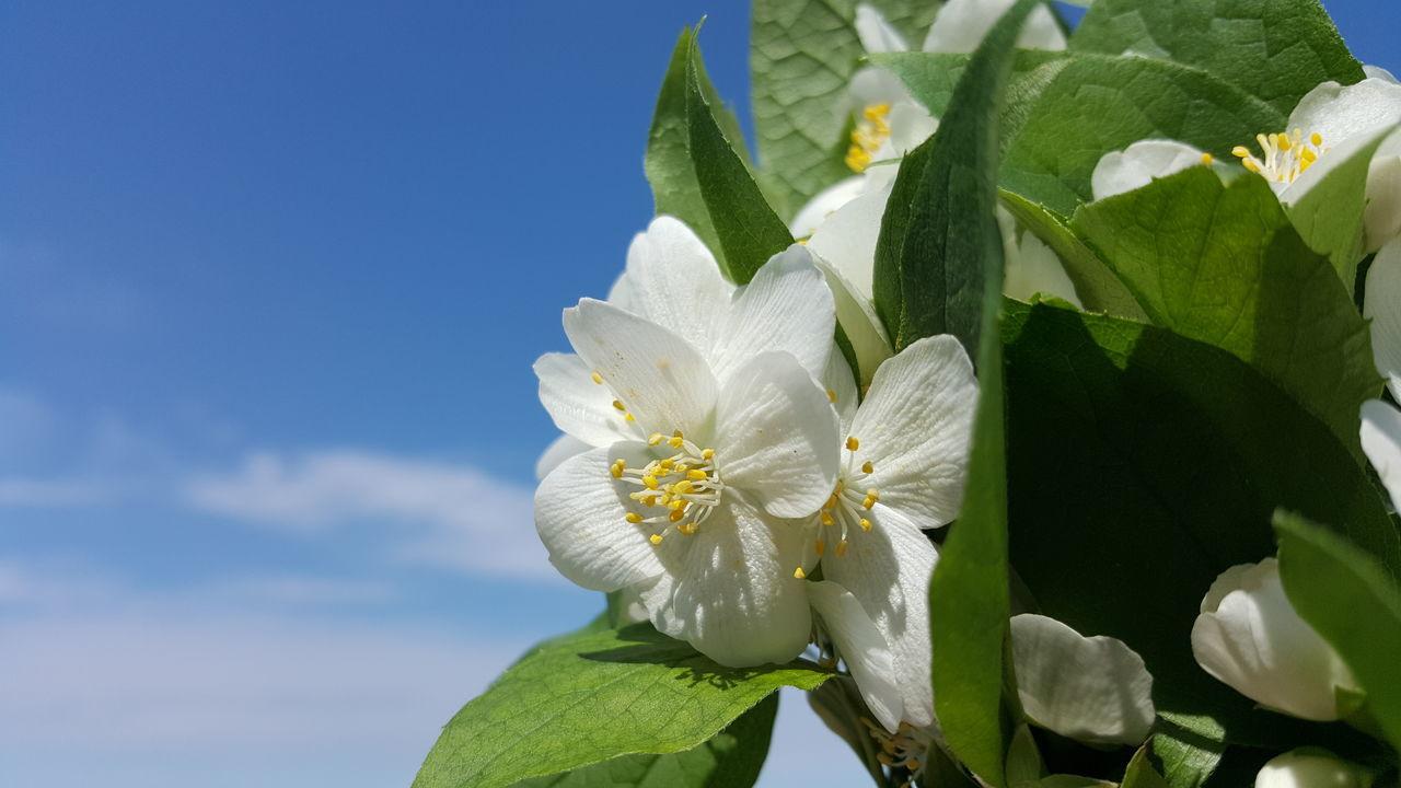 EyeEm Nature Lover Jasmine Flower White Flower Blue Sky Sky And Clouds Flower Porn Spring Flowers Nofilternoedit Samsung Galaxy S6 Edge Nofilter