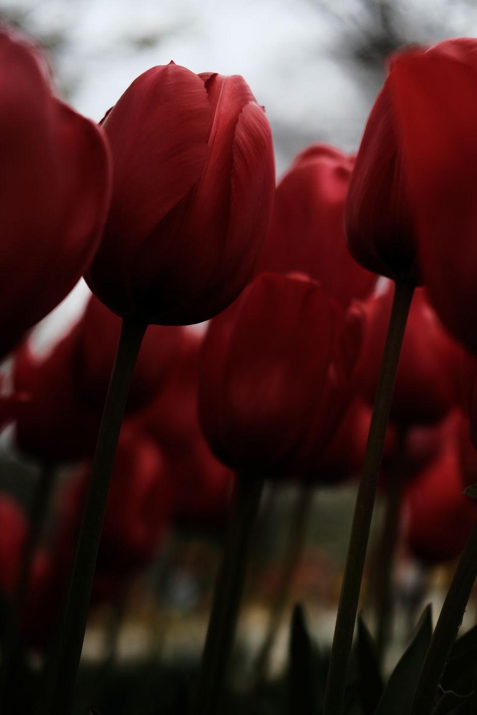 Tulips in Keukenhof (Netherlands) Beauty In Nature Blossom Close-up Day Dramatic Dramatic Angles Flower Flower Head Flowers Fragility Freshness Garden Gardening Green Growth Keukenhof Lisse  Nature Netherlands No People Outdoors Red Tulip Tulpe Yellow Art Is Everywhere