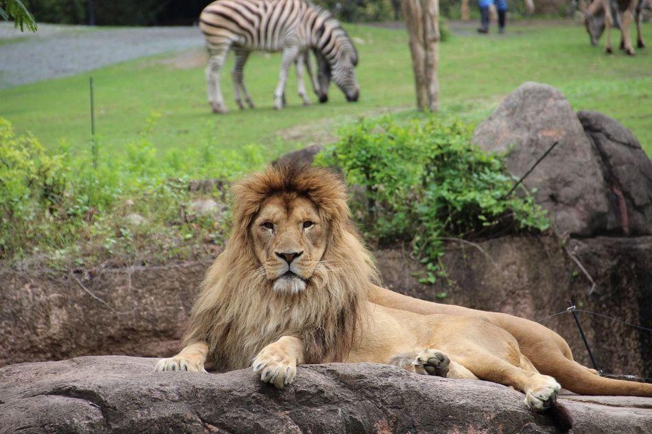 Beautiful stock photos of löwe, Animal Themes, Animal Wildlife, Animals In Captivity, Beauty In Nature