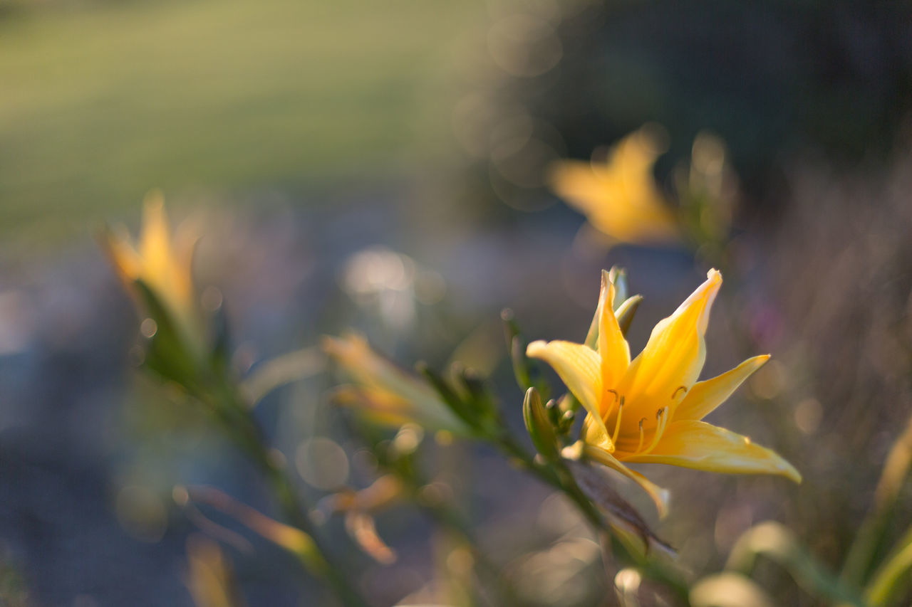 Yellow lilies at sunset Beauty In Nature Blooming Bokeh Bokeh Photography Bokehlicious Close-up Flower Flower Head Fragility Freshness Lilies Lily Nature No People Outdoors Petal Plant Sunset Sunset Glow Warmth Wildflowers Yellow