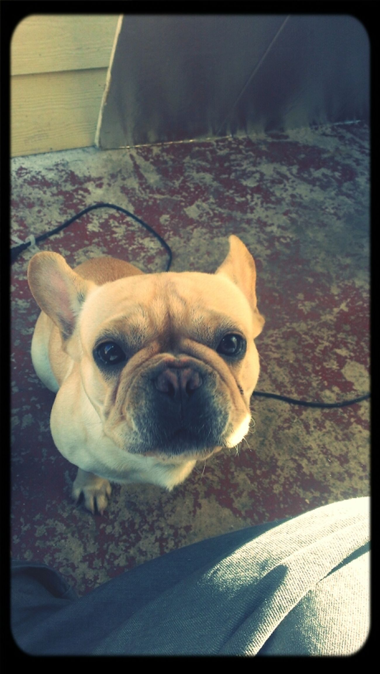 this is my lil nigga Frenchbulldog #bulldog