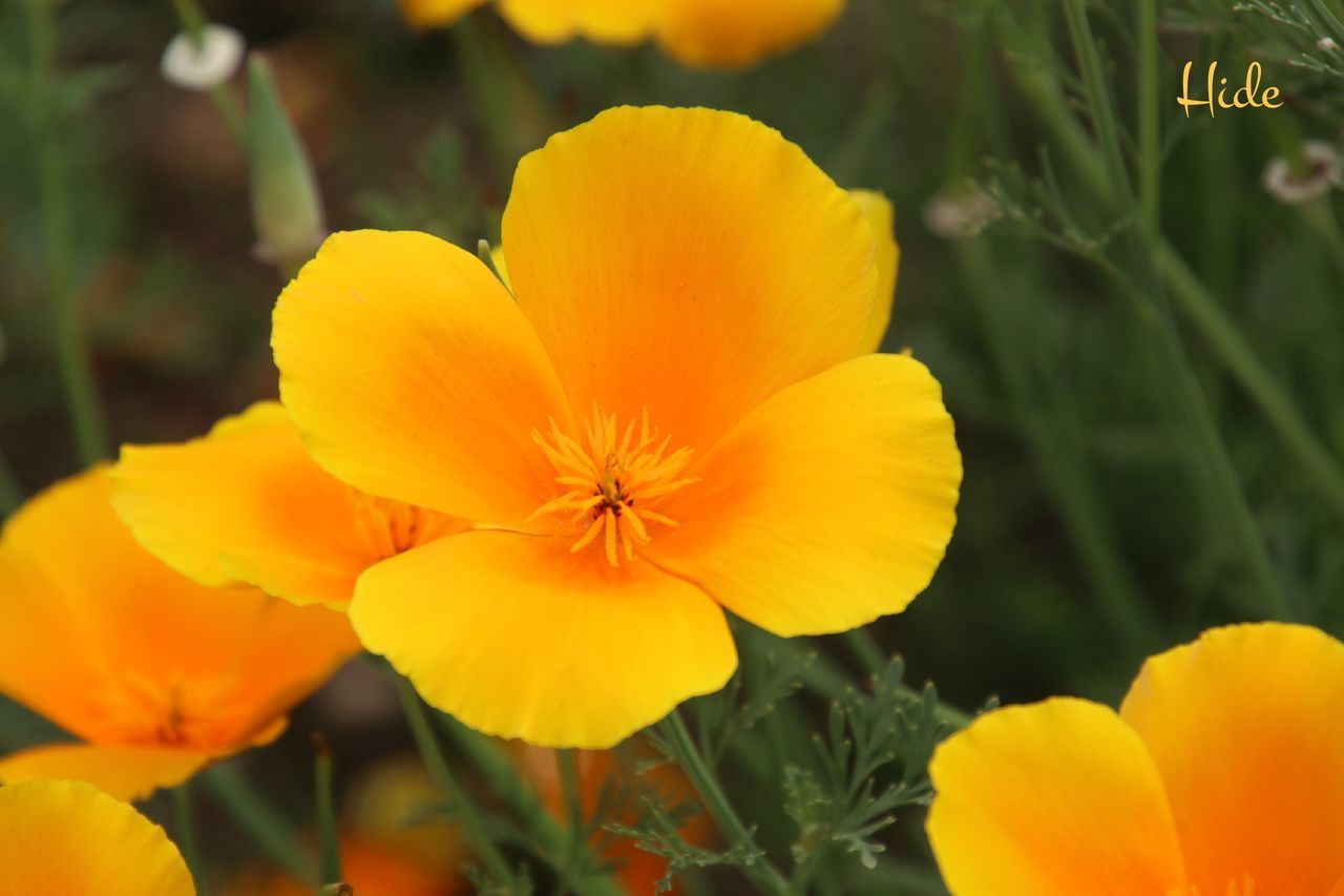 富良野 四季彩の丘 花 Flowers ポピー