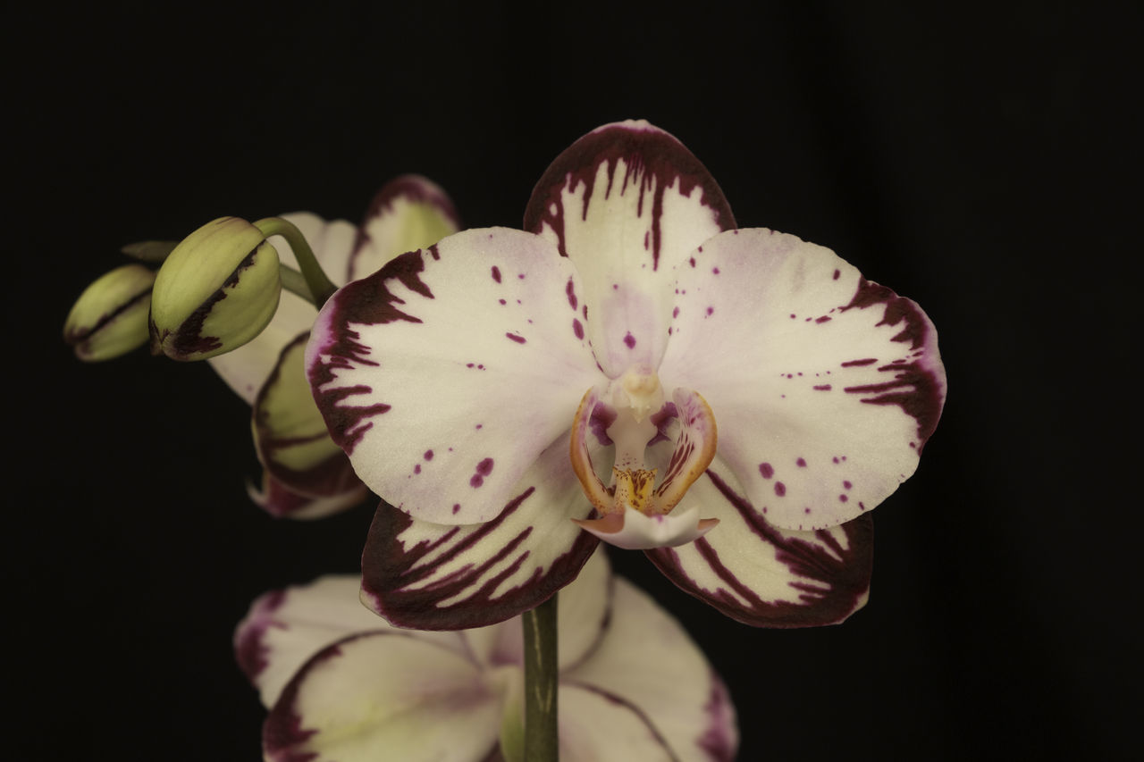 Orchid with black background Beauty In Nature Black Background Close-up Day Flower Flower Head Fragility Freshness Maroon Nature No People Orchid Outdoors Petal Pistil