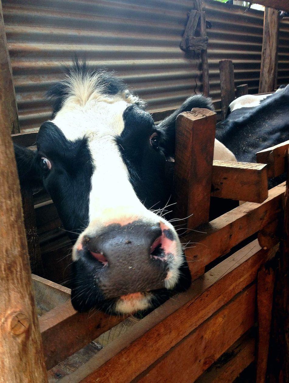Well hello Cow Kenya Hello World