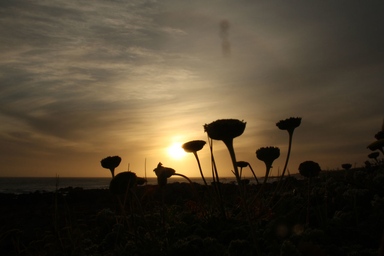 sunset, nature, silhouette, growth, sun, beauty in nature, sky, outdoors, plant, flower, no people, day