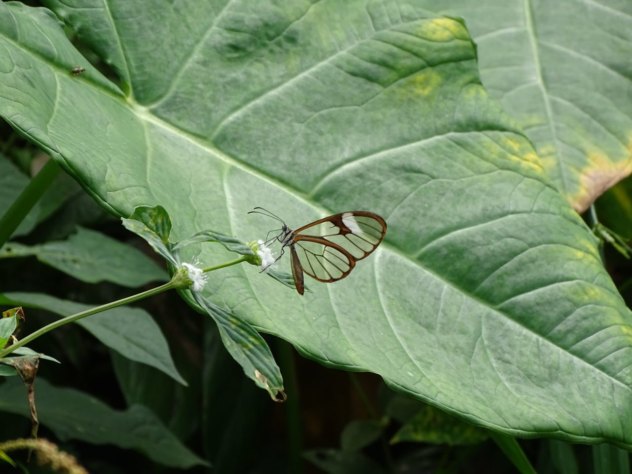 TRansparanet butterfly Animals In The Wild Beauty In Nature Butterfly Close-up Colombia EyeEm New Here Jungle Leaf No People Santa Marta, Colombia Transparent Transparent Butterfly Transparent Wings
