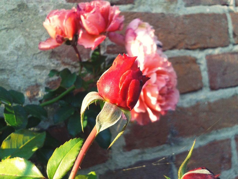 Rose di fine ottobre... Rose🌹 Roseflower Autumn Colors Sunnyday