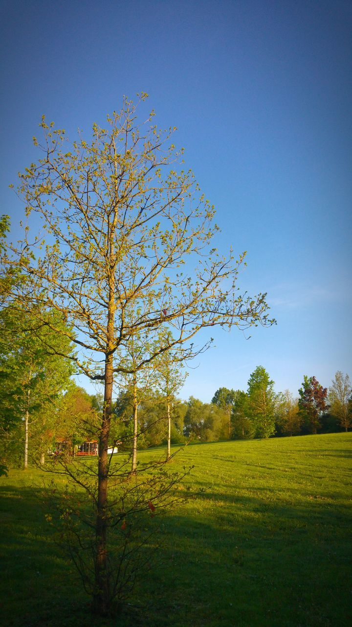tree, nature, tranquility, beauty in nature, field, grass, tranquil scene, no people, growth, clear sky, day, sky, outdoors, landscape, scenics, blue, branch