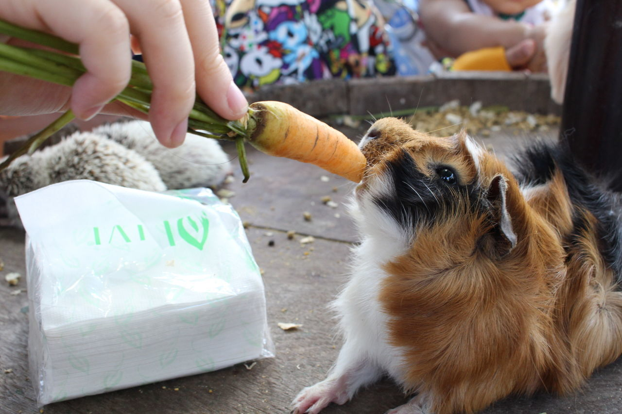 Beautiful stock photos of guinea-pigs,  Care,  Carrot,  Chewing,  Domestic Animals