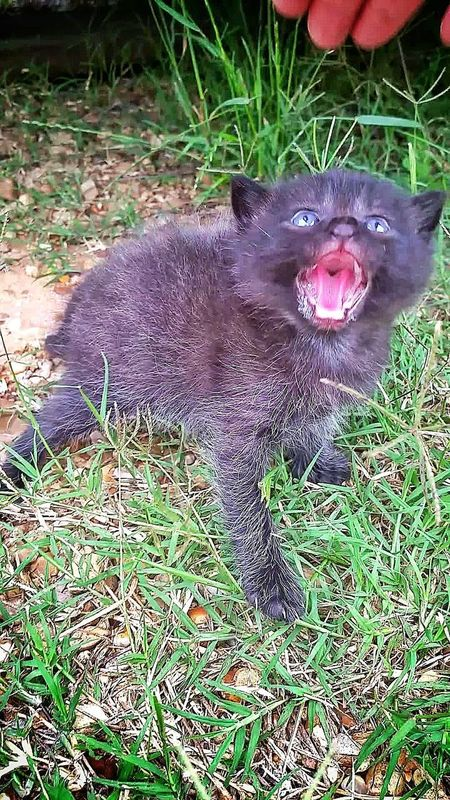 he was wanting to take my fingers off...but didn't, once he realized I was there to help him Pets Nature Close-up Kitten Hissing Mouth Open Mad Mad Kitty Scared Kitten Wild Animal Cat Cat Lovers Fighting Mood Meowing Black Cat