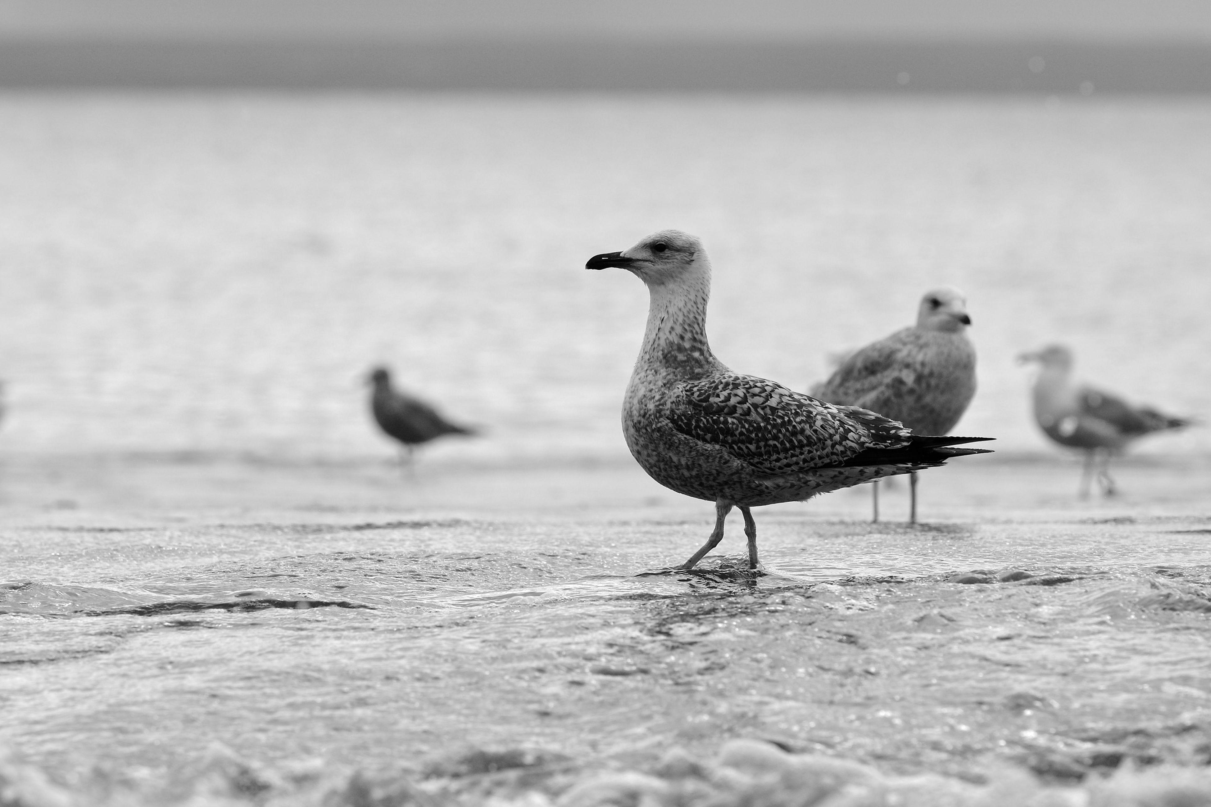 Ptaki w kuźnicy na plaży Sea Beach Birds