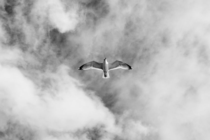 Sky And Clouds SEAGULL IN FLIGHT From My Point Of View Flying High Monochrome Light And Shadow Bird Photography Wildlife & Nature Fresh Breeze Living By The Sea Scotland Solitude Bliss Freedom Black & White Outdoor Photography Summertime Spread Your Wings Wings Spread Wings Of Freedom Feathered Friends