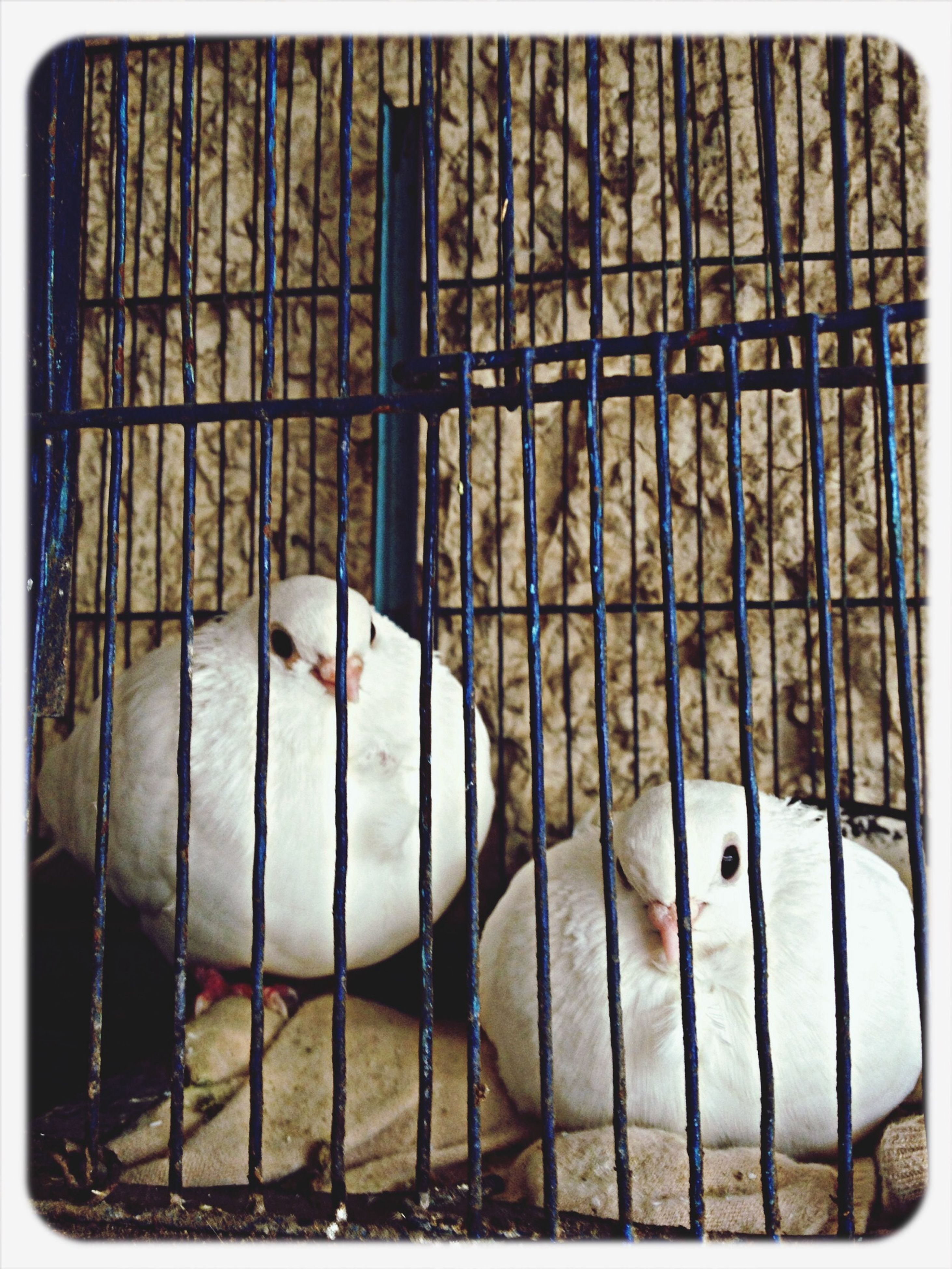 animal themes, bird, one animal, animals in the wild, wildlife, transfer print, domestic animals, cage, pets, auto post production filter, animals in captivity, beak, close-up, pigeon, animal head, white color, two animals, zoology, metal, perching