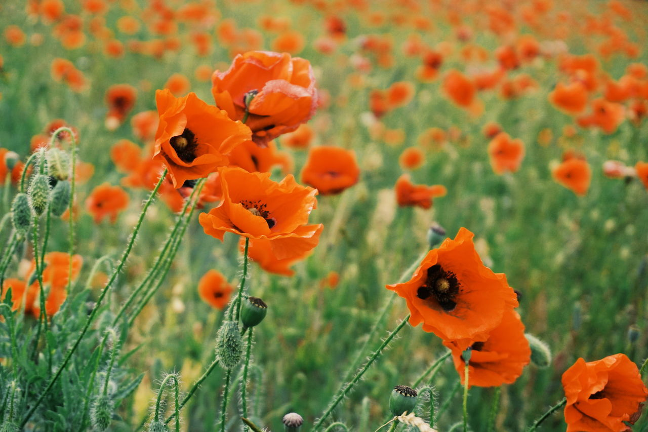 Poppies field Animal Themes Beauty In Nature Blooming Buzzing Close-up Day Flower Flower Head Focus On Foreground Fragility Freshness Gotland Gotland, Sweden Growth Marigold Nature No People Orange Color Outdoors Petal Plant Poppies  Poppies Field Poppy Poppy Flowers