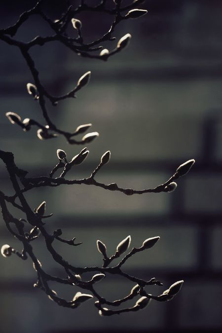 Hinting at sunlight Branches Buds Winter Darkness And Light EyeEm Nature Lover Urban Nature Magnolia Open Edit For Everyone Garden Nature