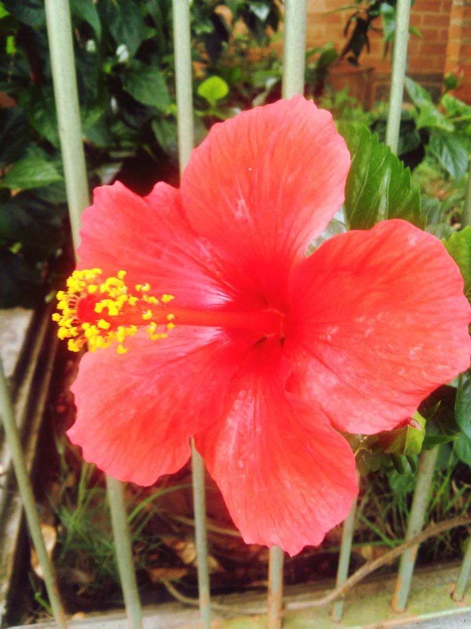 flower, fragility, petal, beauty in nature, growth, flower head, nature, plant, freshness, blooming, day, outdoors, no people, close-up, hibiscus, petunia