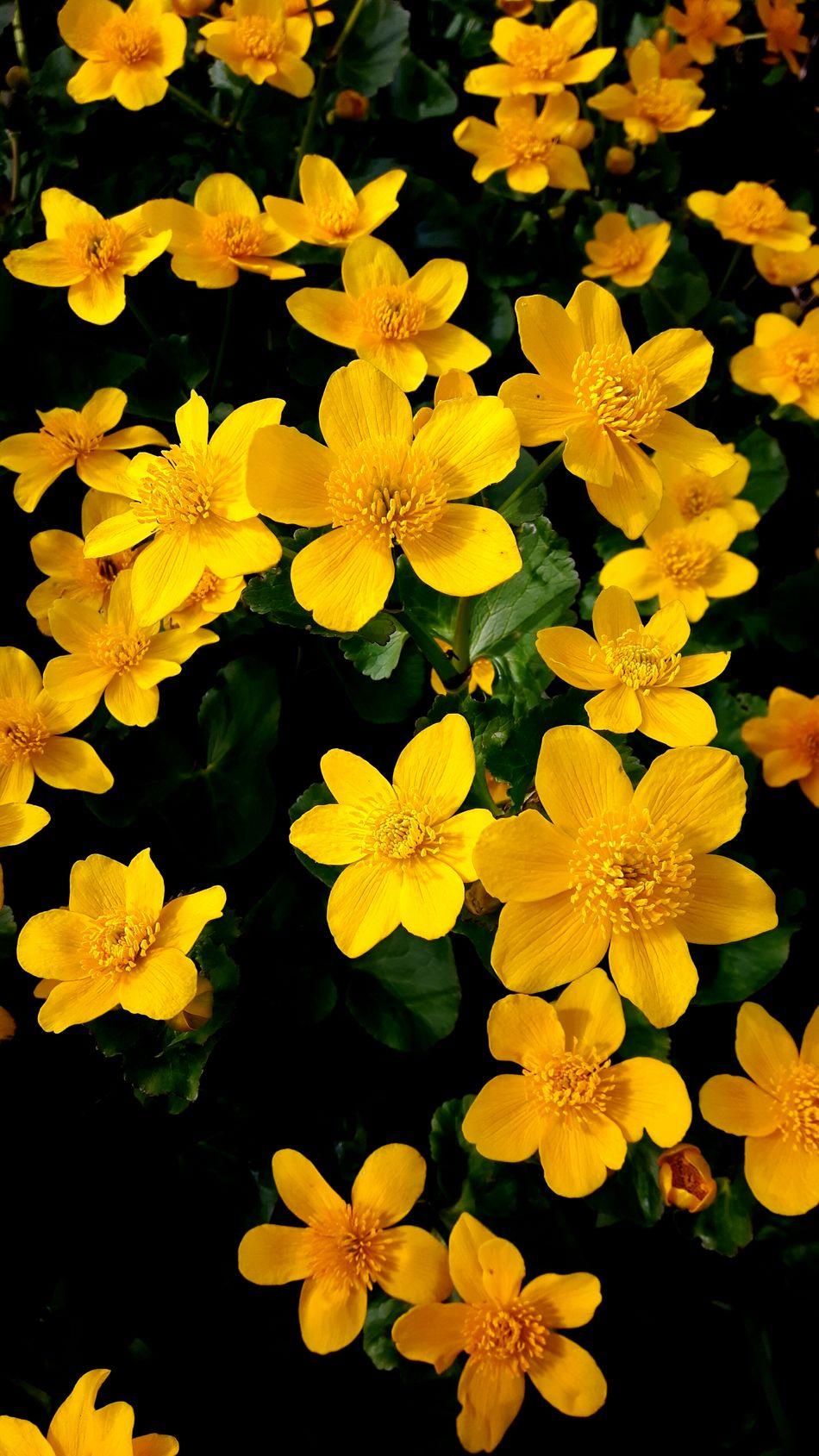 Dotterbloemen Dotterbloem Marsh Marigold Yellow Flower Beauty In Nature Nature Fragility Freshness Spring Flowers