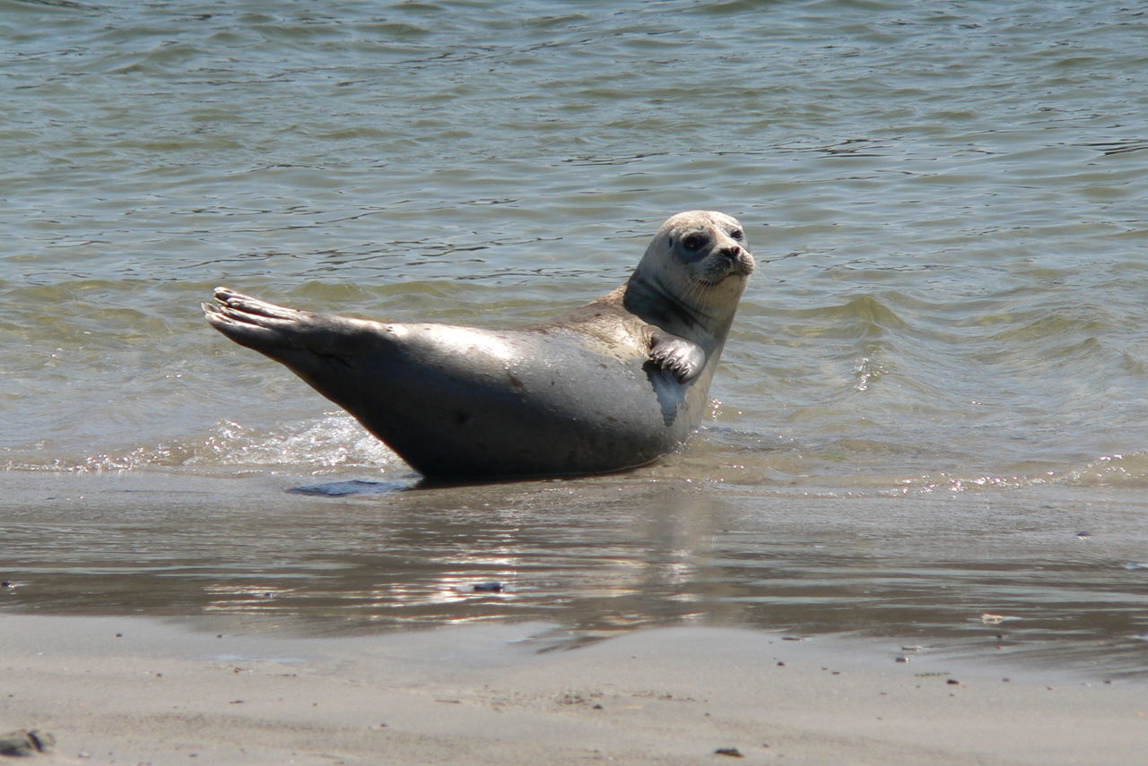 Animal Animal Behavior Animal Themes Animals In The Wild Day Helgoland Looking At Camera Mammal Nature No People One Animal Outdoors Rippled Sea Seal Tranquility Vertebrate Water Waterfront Wildlife Zoology