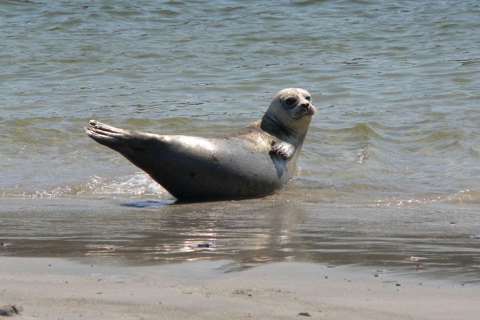 Beautiful stock photos of seal,  Animal,  Animal Behavior,  Animal Head,  Animal Themes