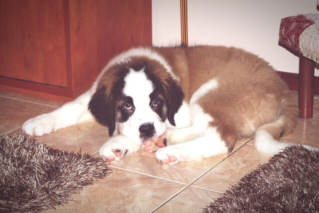 First Eyeem Photo Dog Love Dog Saint Bernard Animal Babydog