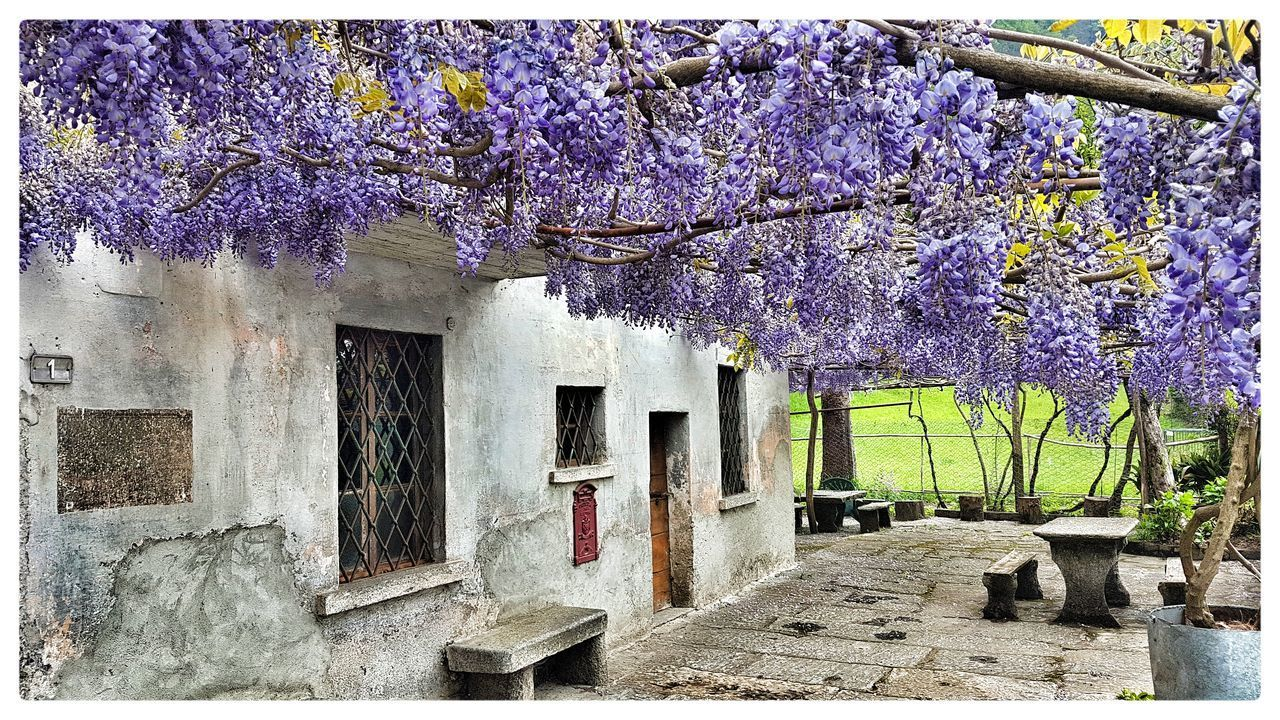 flower, tree, blossom, wisteria, branch, springtime, beauty in nature, growth, nature, purple, fragility, no people, freshness, day, outdoors, built structure, hanging, architecture, building exterior