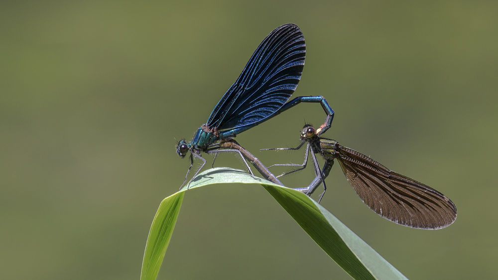 make love Dragonfly Dragonflys Animal Markings Animal Themes Animal Wing Animals In The Wild Close-up Focus On Foreground Heart Insect Love Love ♥ Make Love Nature Outdoors Perching Wildlife Wing Zoology