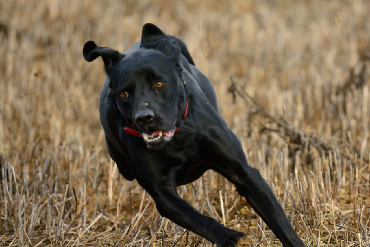 Action Beauty In Nature Black Dog Black Labrador Check This Out Close-up D Day Enjoying Life Eye4photography  EyeEm Best Shots EyeEm Nature Lover Focus On Foreground Labrador Nature Nature Photography Nature_collection Naturelovers No People One Person Portrait Running Running Dog Selective Focus Taking Photos