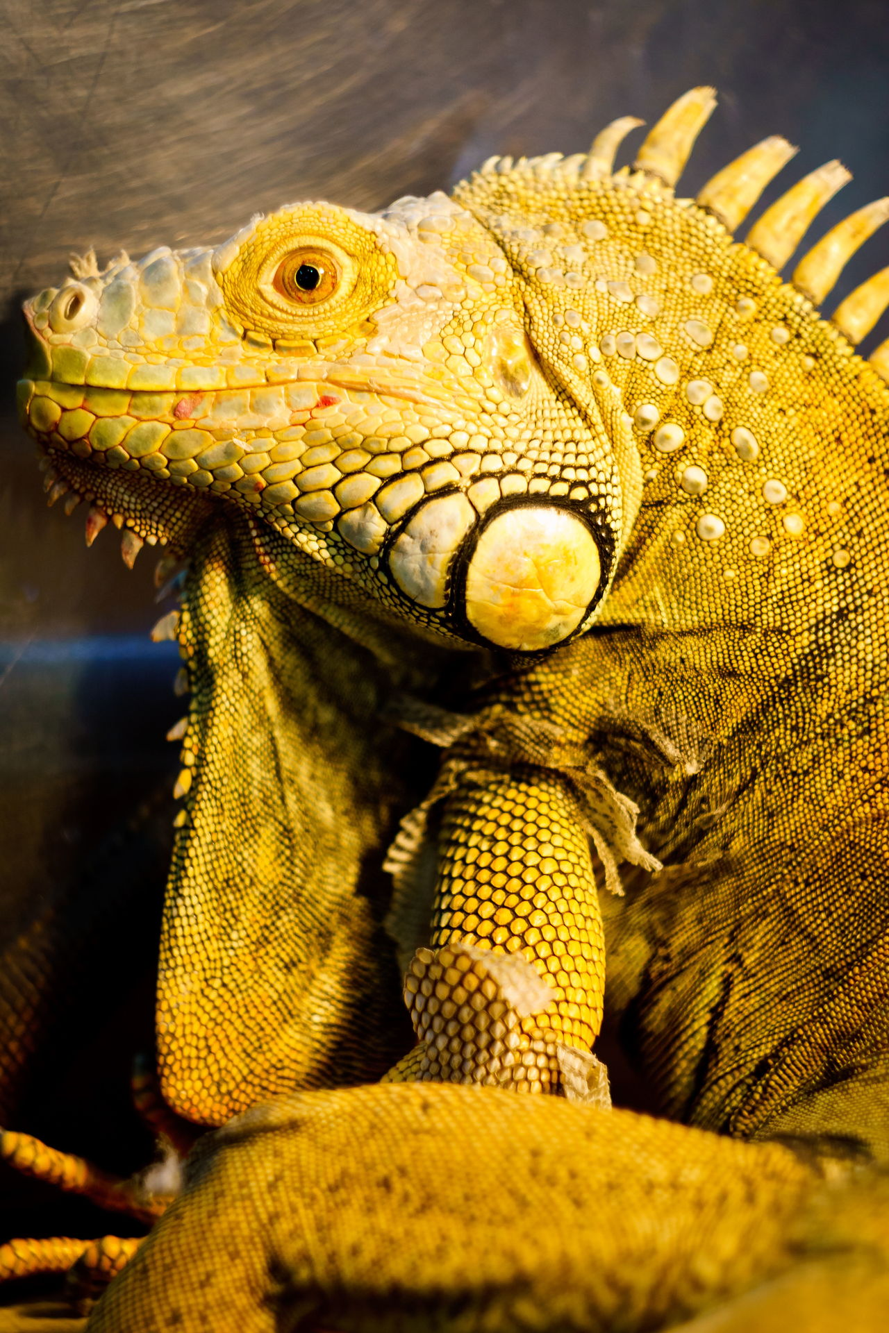 гляделки с God'zилкой Animal Scale Animal Themes Animal Wildlife Animals In The Wild Bearded Dragon Close-up Day Helios 44m-6 Iguana Lizard Nature No People One Animal Outdoors Reptile Sony A6000 Textured  контактный зоопарк