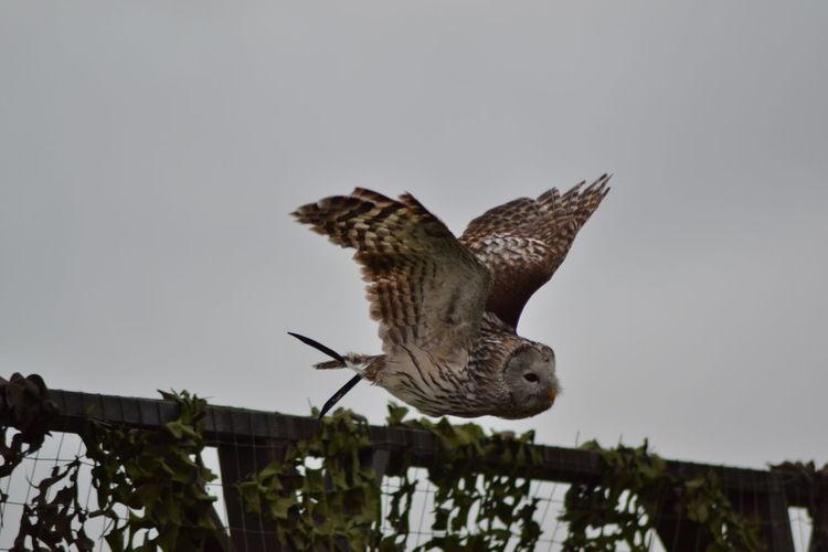Owl Birdsofprey Owls Are Cute Bird Photography Owllife Owl Flyng Showcase March