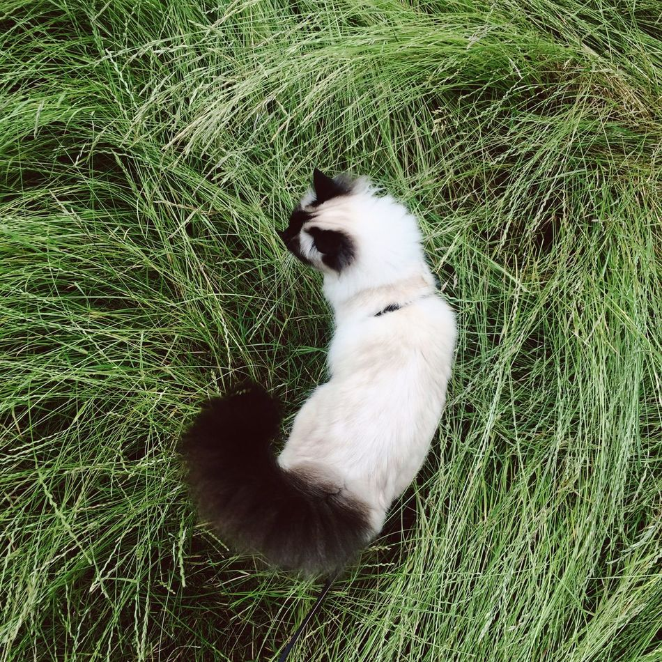 Going for a walk with my cat || Grass Cat Pet Green