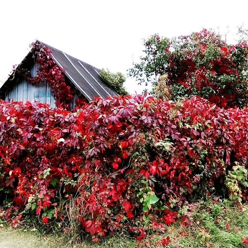 Red Growth Plant House Beauty In Nature Bush Autumn🍁🍁🍁