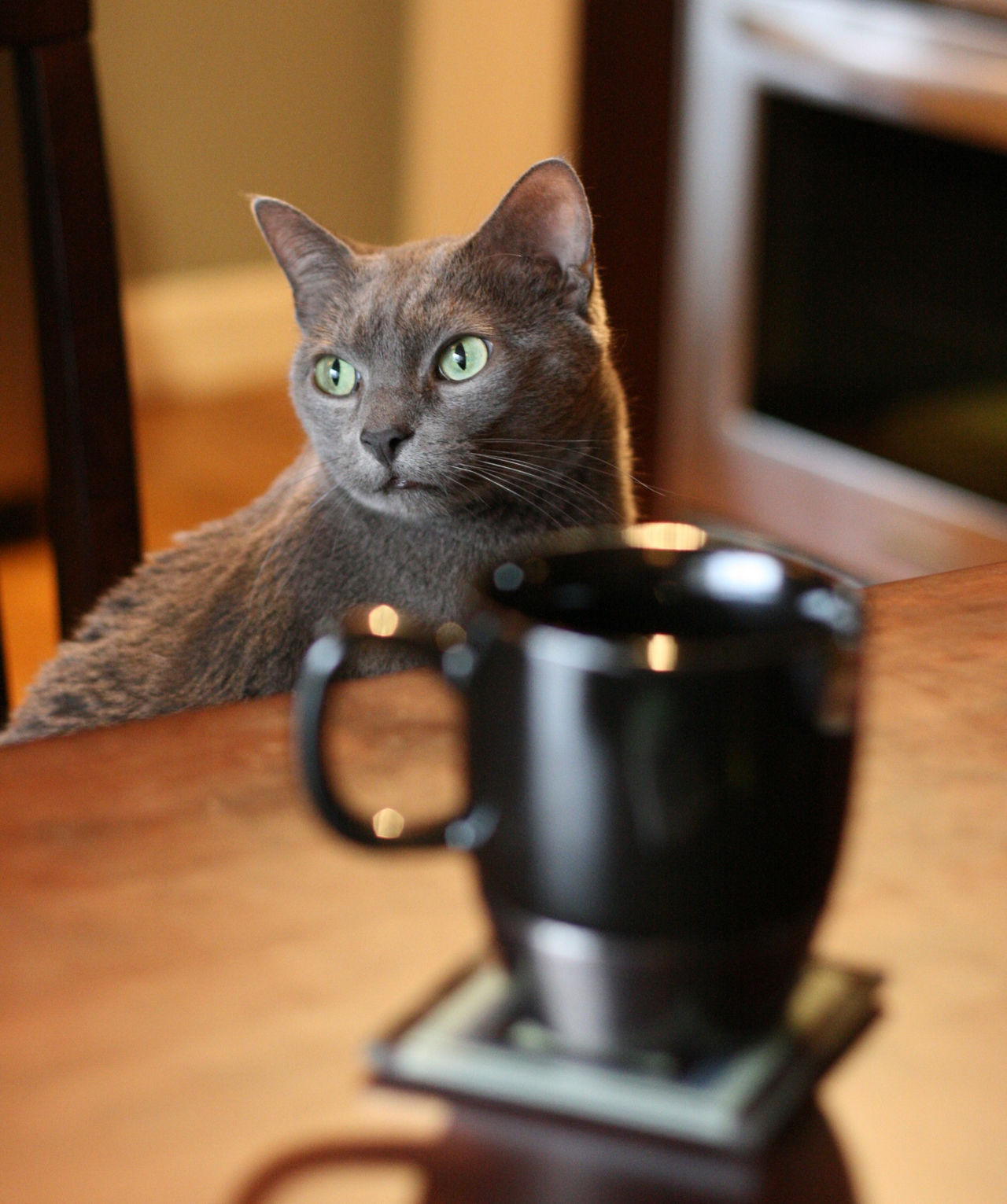 Ben (RIP) Cats Dof Domestic Cat Pets RussianBlue Russianbluecat Russianbluecats