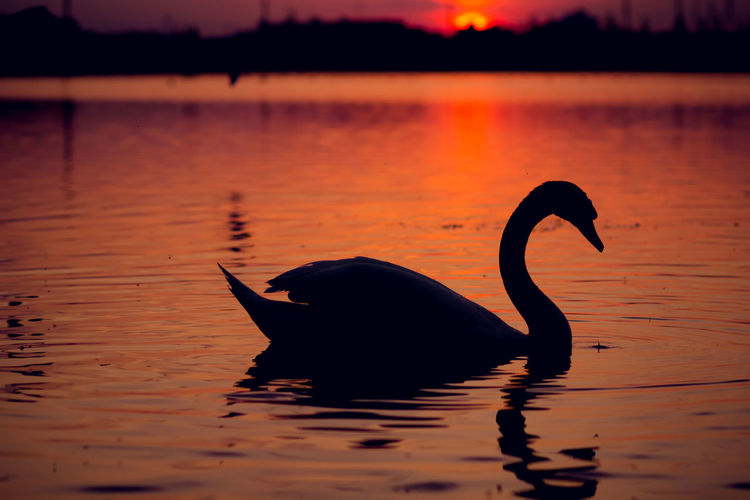 Animal Themes Animals In The Wild Beauty In Nature Lake Lake View Lakeview Nature No People Outdoors Red Silhouette Sunset Sunset Silhouettes Sunset_collection Swan Swan Silhouette Swans Swans On The Lake Swans Swimming Swimming Water Market Bestsellers 2016