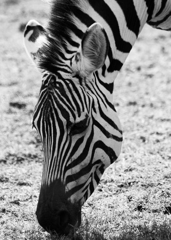African Safari Animal Markings Animal Themes Animal Wildlife Animals In The Wild Black And White Black And White Photography Black And White Stripes Nature Ngorongoro Crater Safari Animals Striped Tanzania Travel Travel Photography Wildlife Wildlife & Nature Wildlife Photography Zebra Zebra Zebra Face